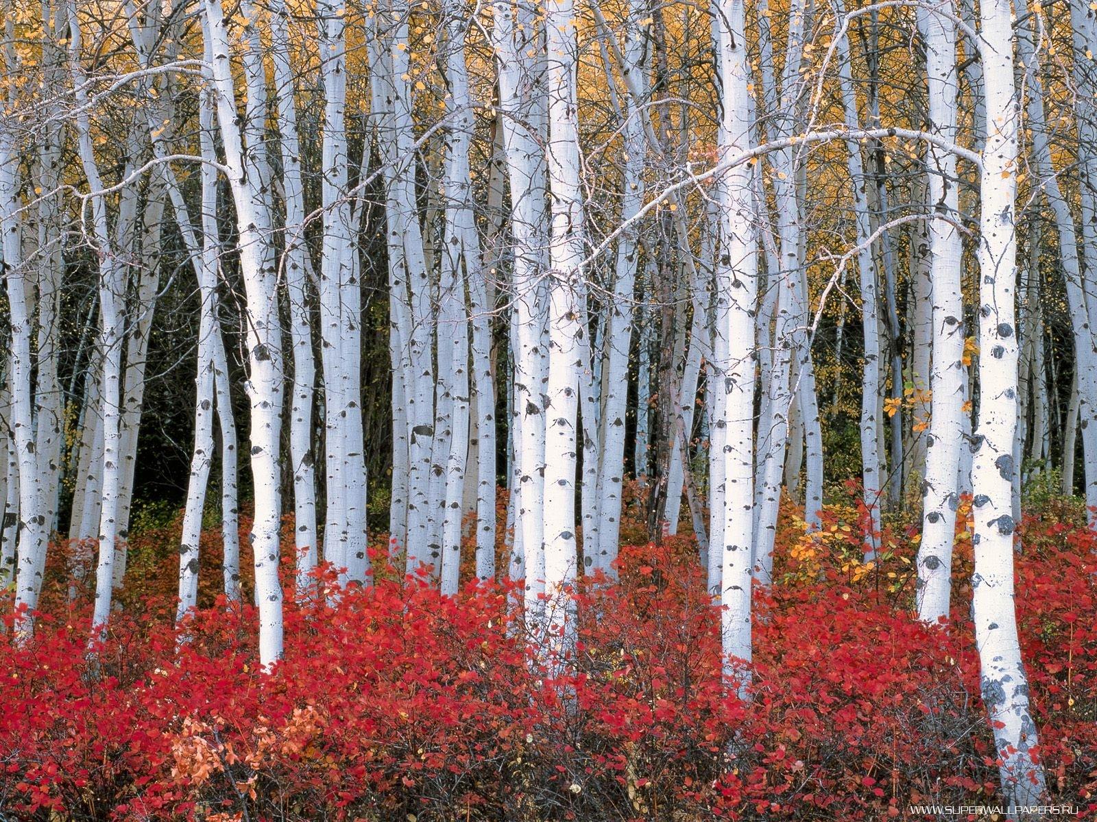 Aspen Forest   Wasatch Mountains   Utah neueste Wallpaper und Bilder 1600x1200