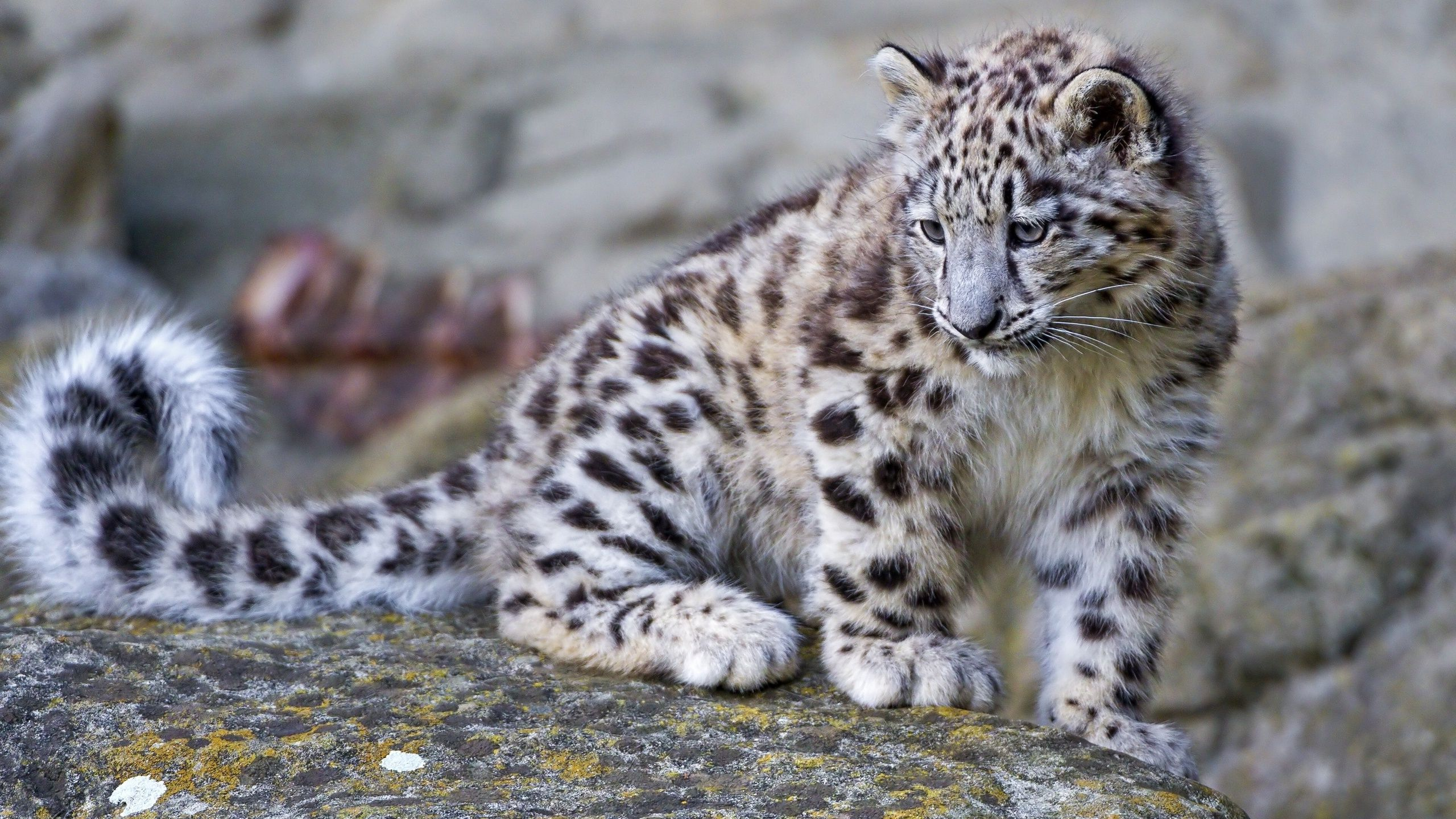 Snow Leopard Wallpapers HD Pictures One HD Wallpaper 2560x1440