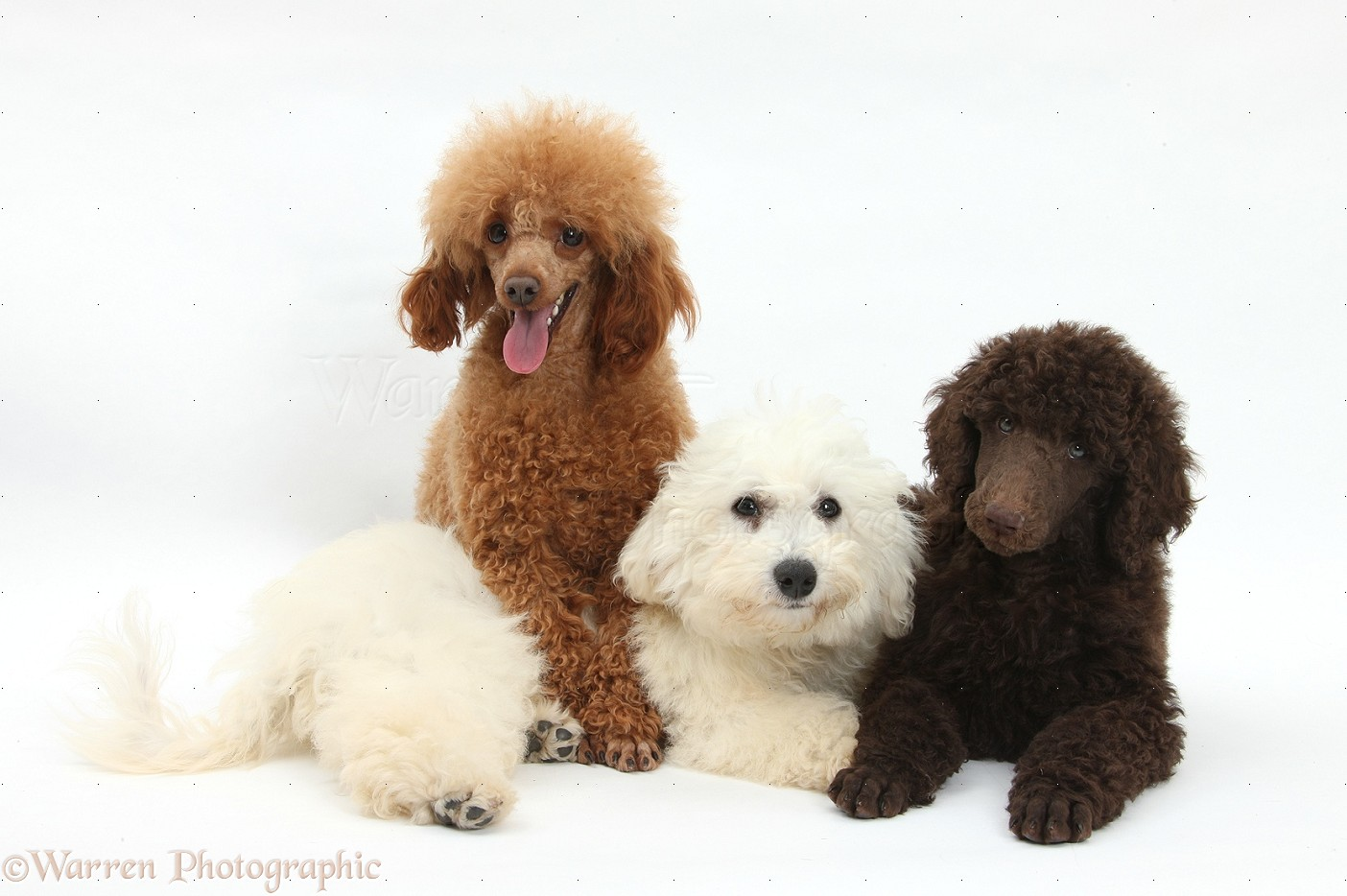 Dogs Bichon Standard Poodle pup and adult toy poodle photo   WP36079 1404x934
