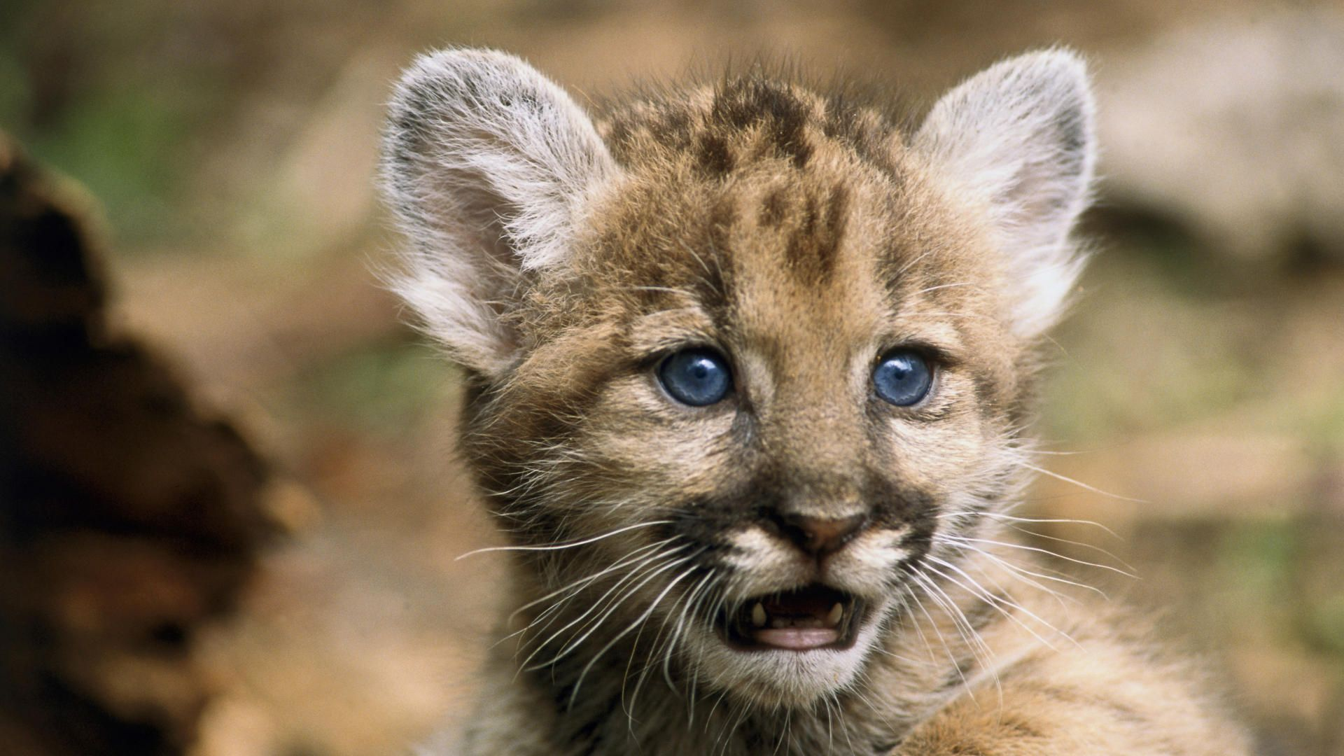 wallpaper florida young panther animals wallpapers 1920x1080