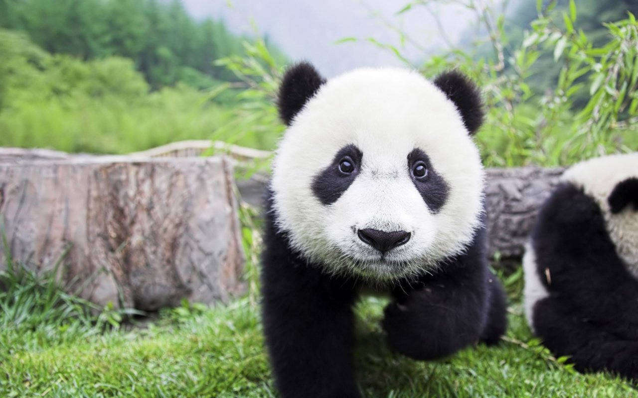 1280x800 Panda Baby desktop PC and Mac wallpaper 1280x800