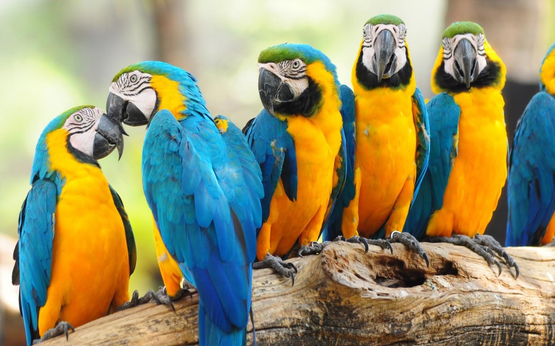 Macaw Parrot Desktop Background Wallpaper Full HD Wallpapers 1440x900
