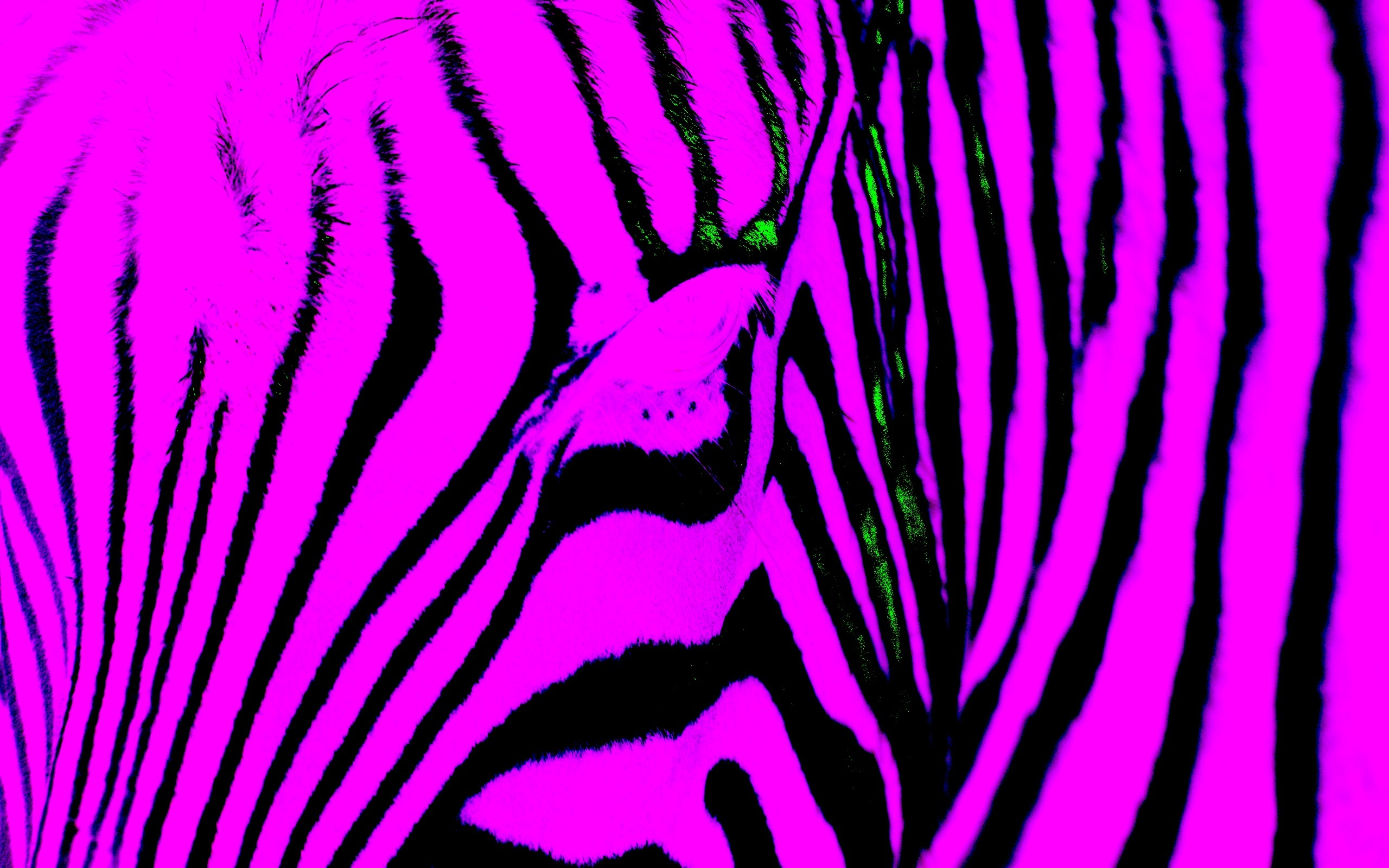 blue zebra wallpaper wallpapersafari