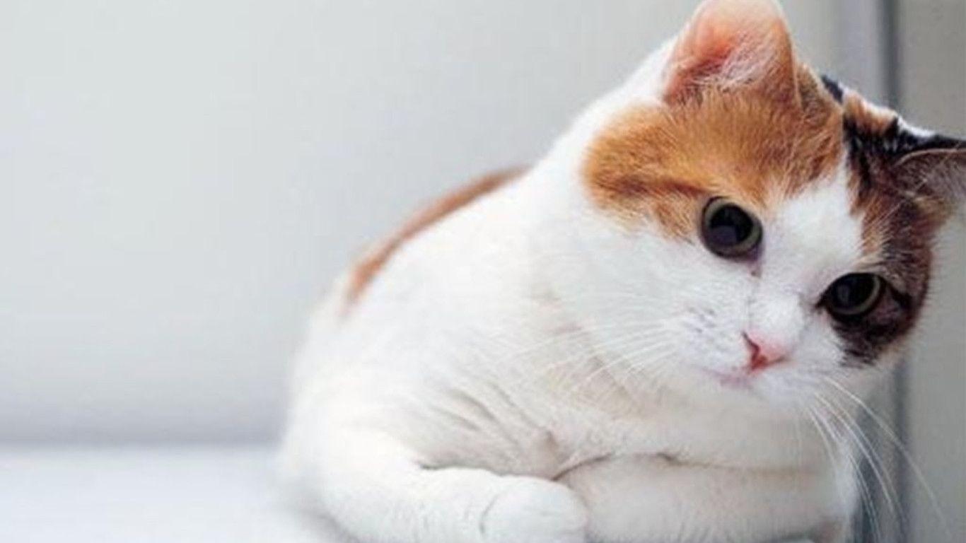 Funny Cat Desktop Wallpapers 1366x768