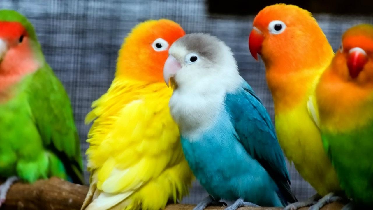 Free Download Love Bird Wallpaper Hd Love Bird Wide