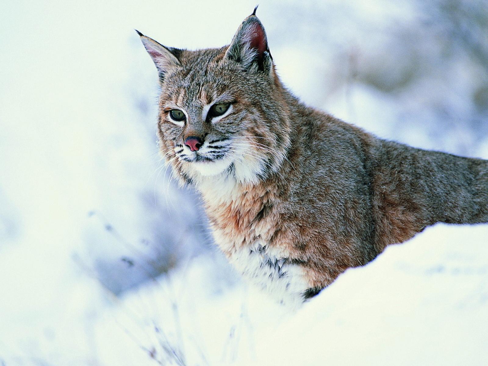 Wildcat Wallpaper - WallpaperSafari