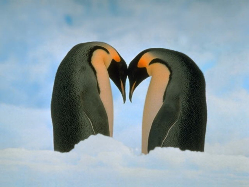 download love penguin wallpapers for desktop beach penguin 1024x768