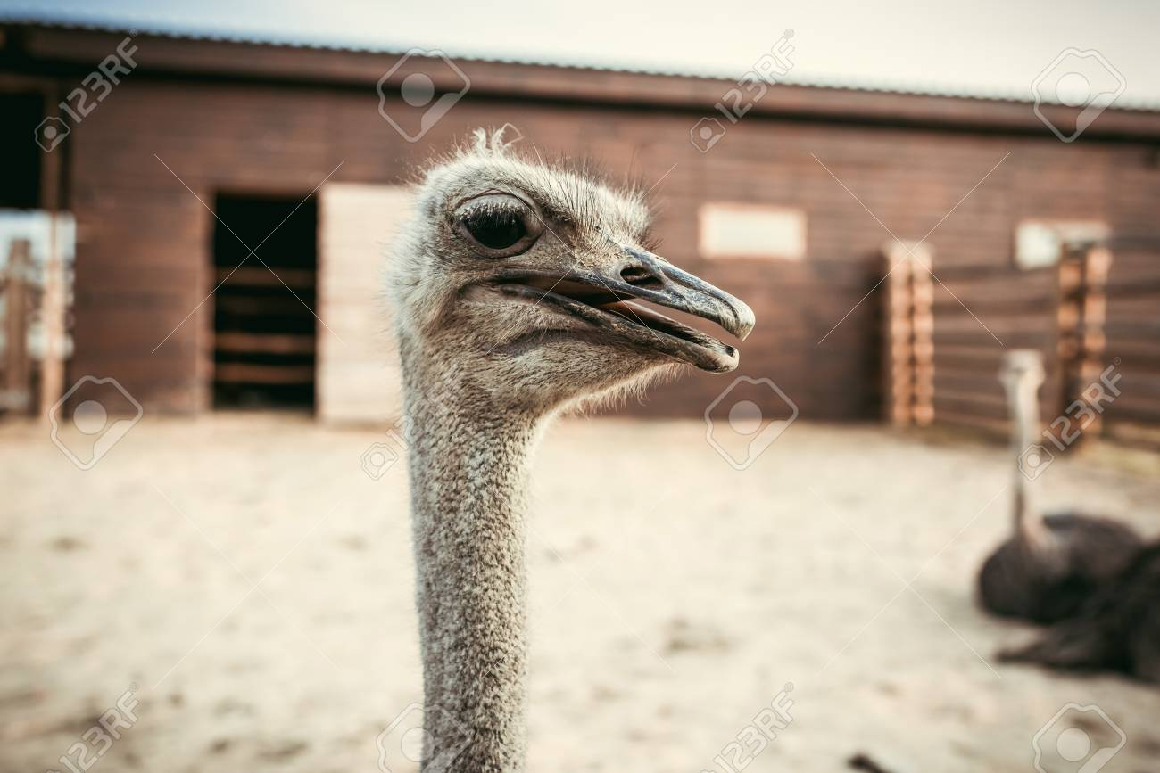 Closeup Shot Of Ostrich Muzzle On Blurred Background In Corral 1300x867