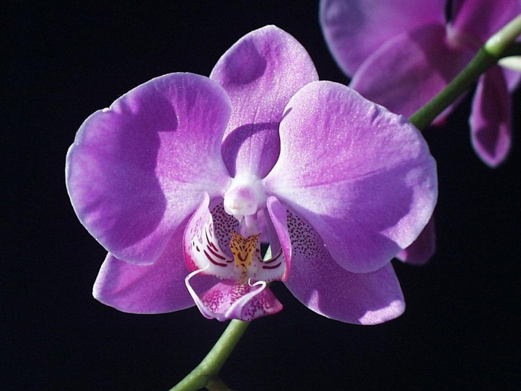 Pics Photos   Purple Orchids Wallpaper 1024x768