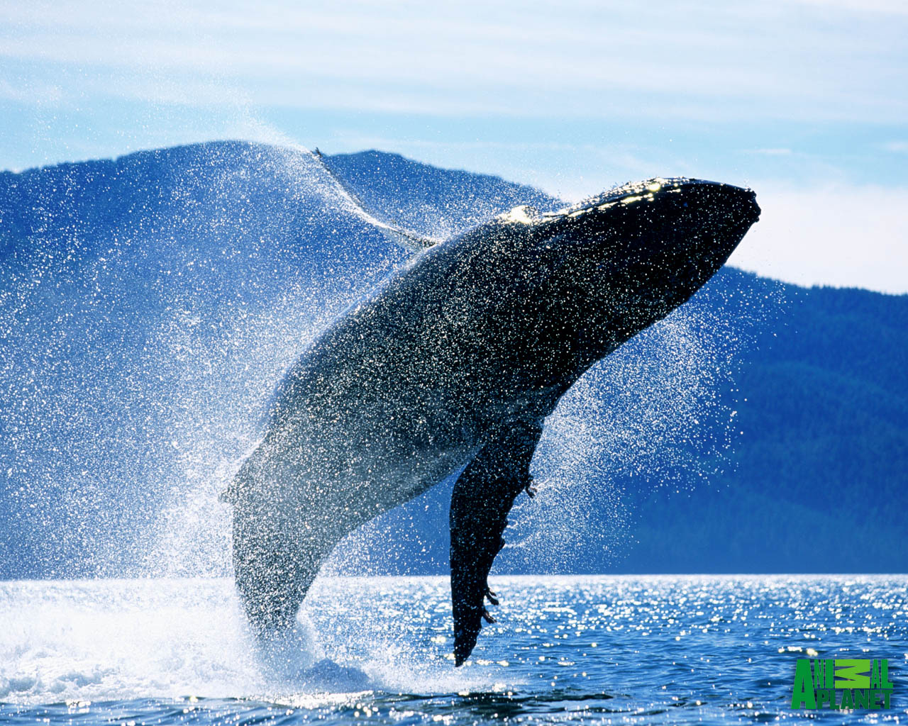 Wallpapers Desktop HD Jumping Humpback Whale Whales Desktop Hump 1280x1024