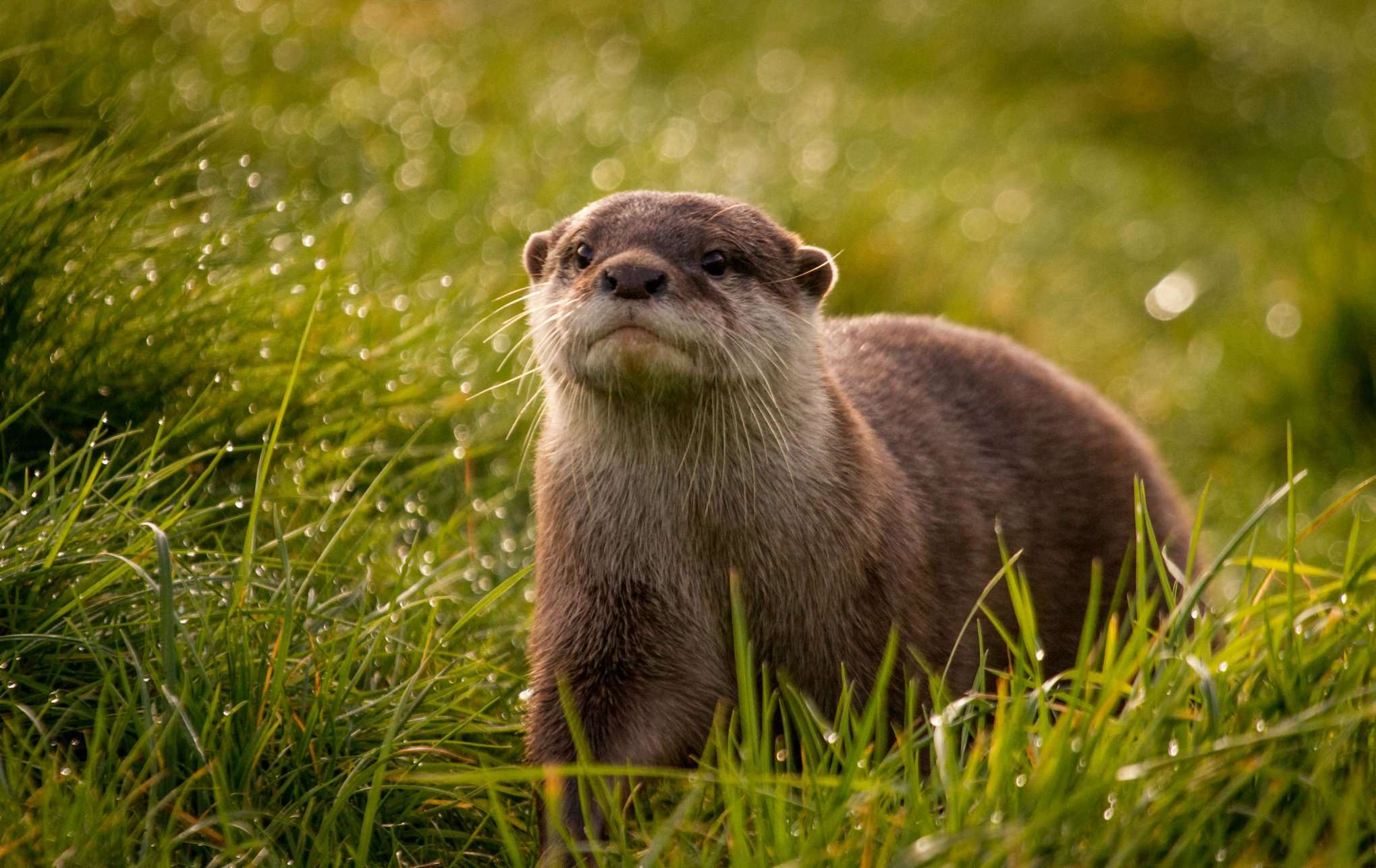 Cute River Otters   wallpaper 2039x1287