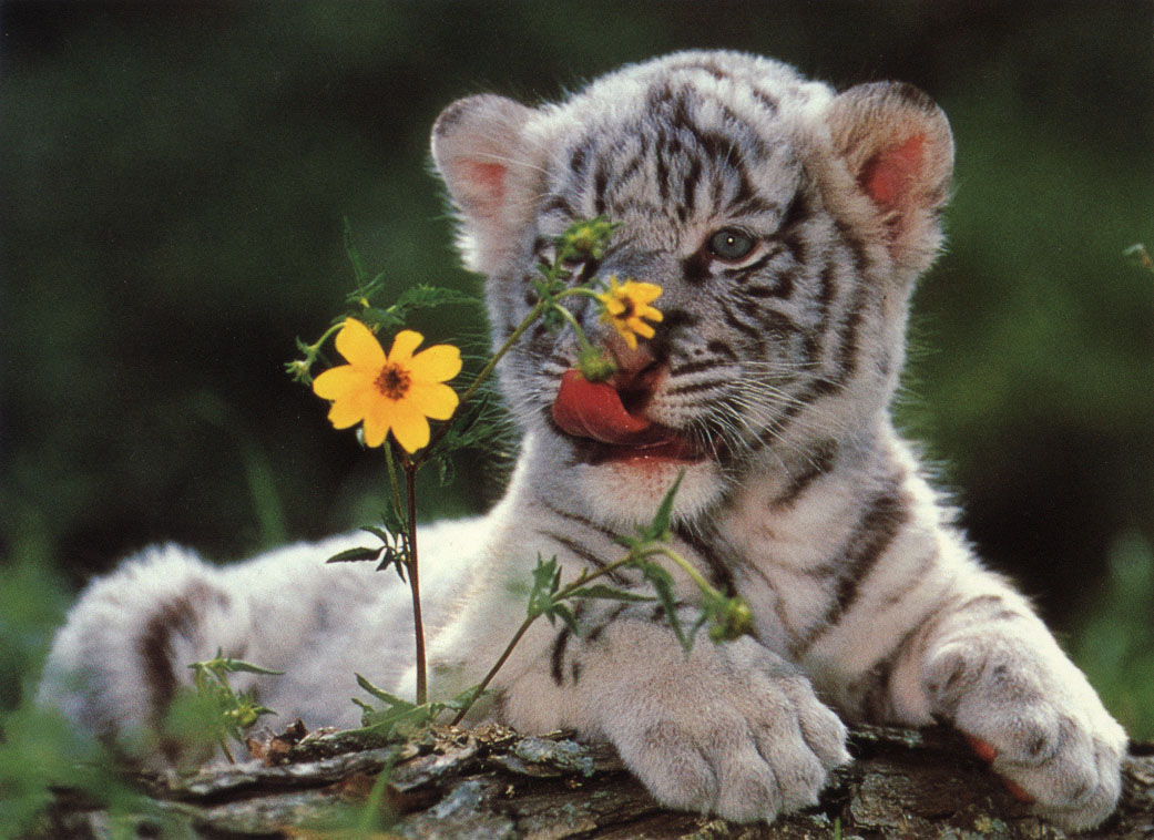 TIGER WALLPAPERS White Tiger Cub Wallpapers 1041x758
