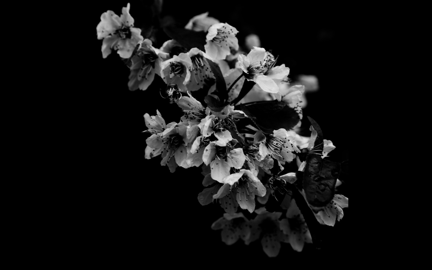 Black Wallpaper With White Flowers Wallpapersafari