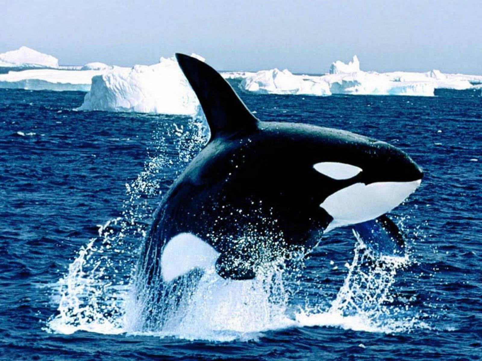 42 Free Orca Wallpaper On Wallpapersafari