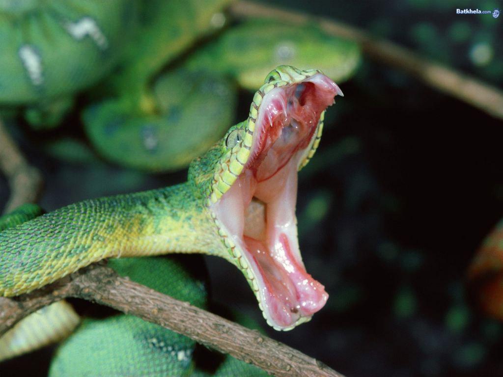 snake   The Animal Kingdom Wallpaper 251181 1024x768