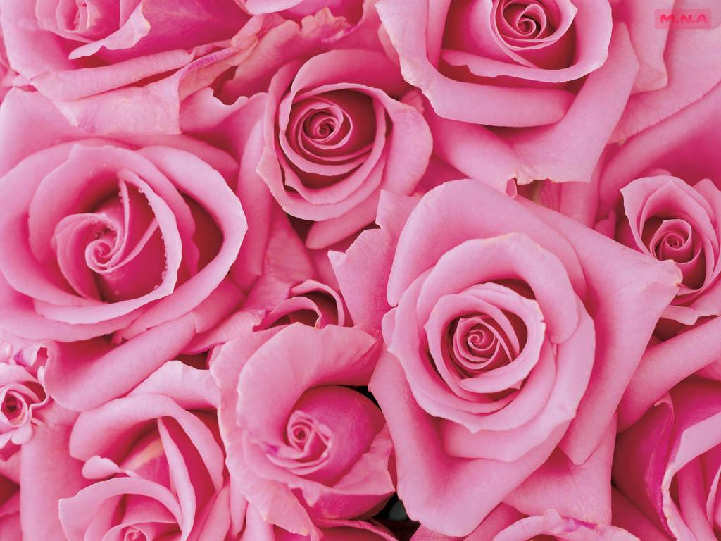70 Wallpaper Pink Roses On Wallpapersafari