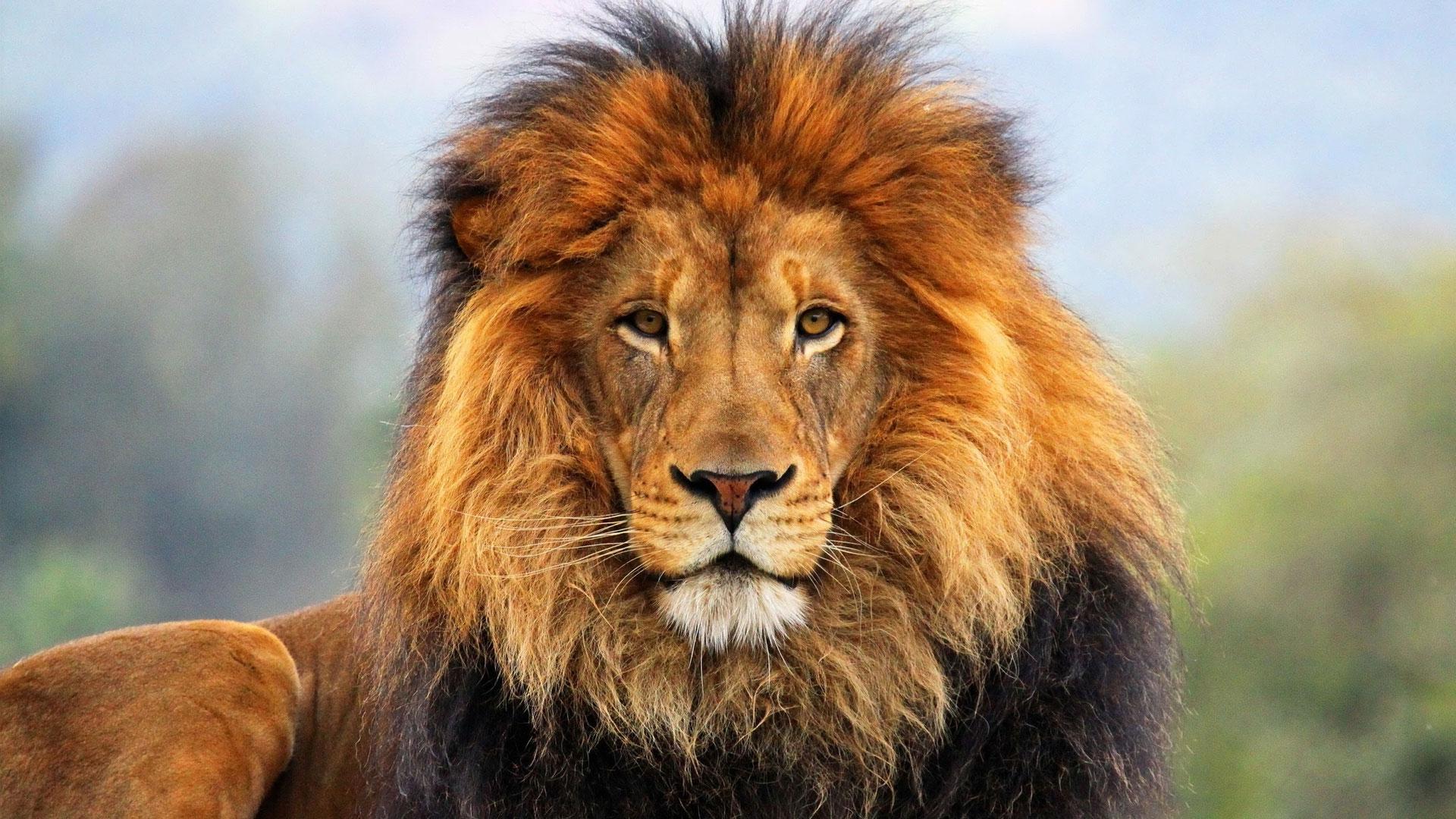 lion wallpaper hd 1080p   Large Images 1920x1080