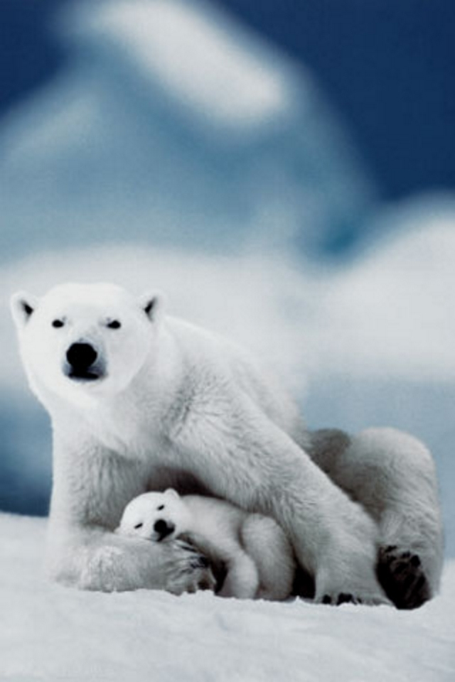 40 Polar Bear Iphone Wallpaper On Wallpapersafari