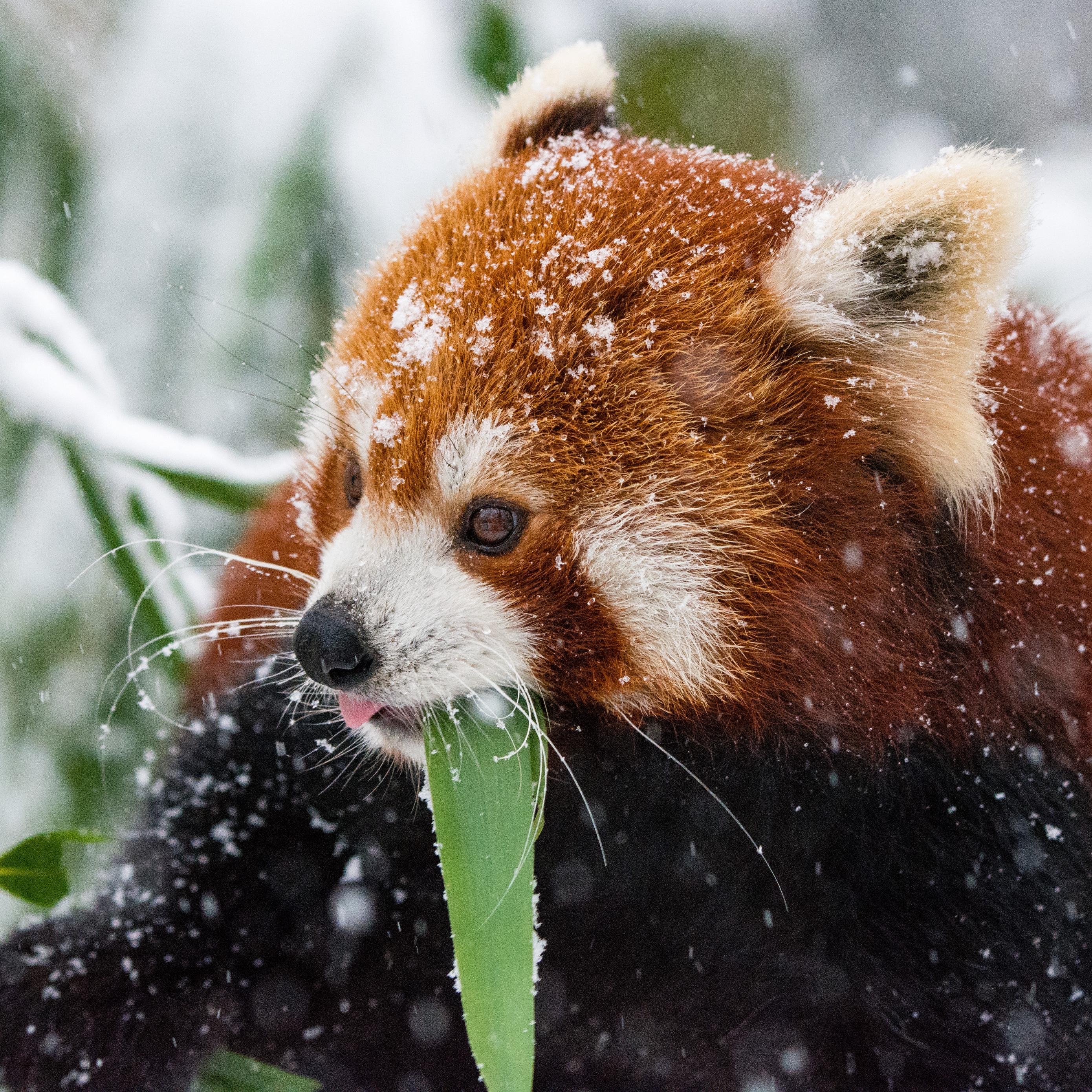 Download wallpaper 2780x2780 panda red panda snow walk ipad air 2780x2780