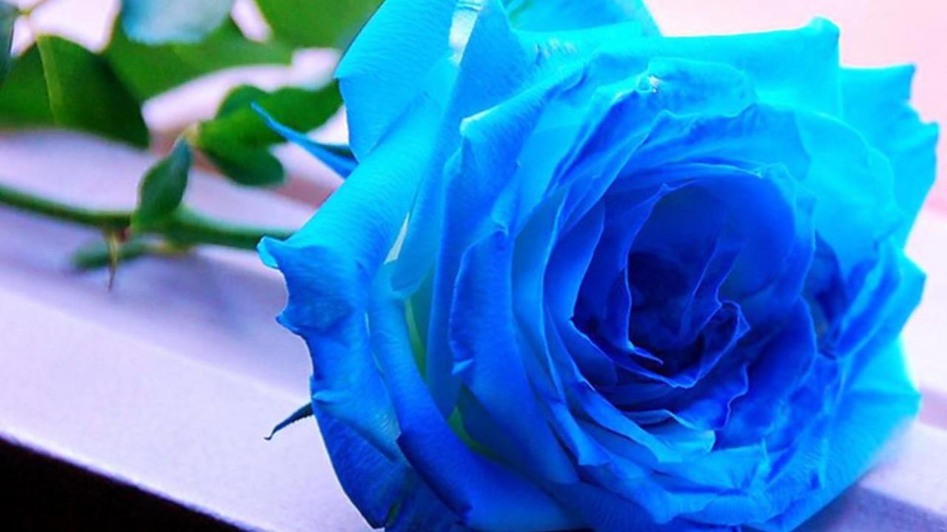 Blue Rose Wallpaper Related Keywords amp Suggestions   Blue 1920x1080