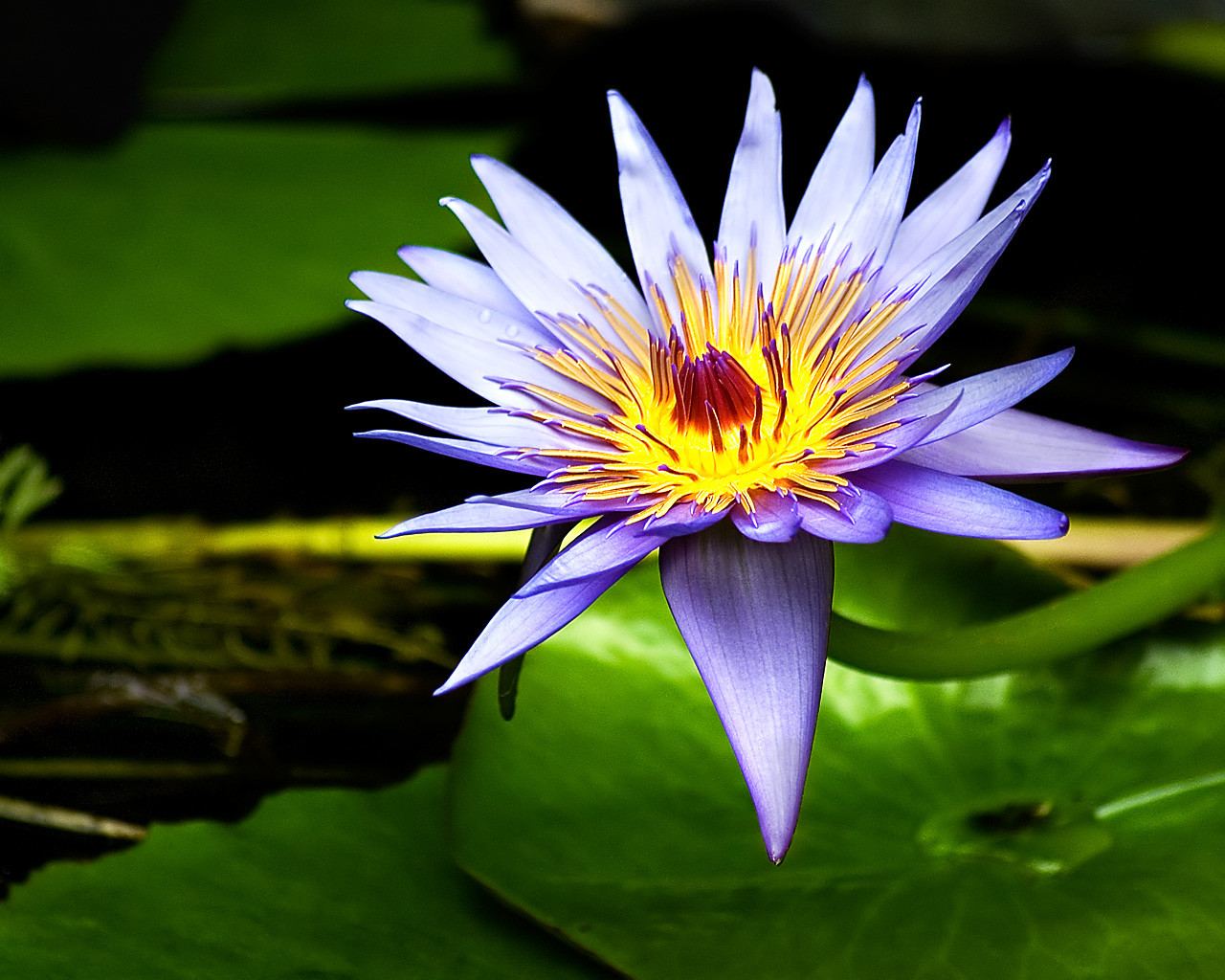 flowers for flower lovers water flowers lilly desktop wallpapers 1280x1024