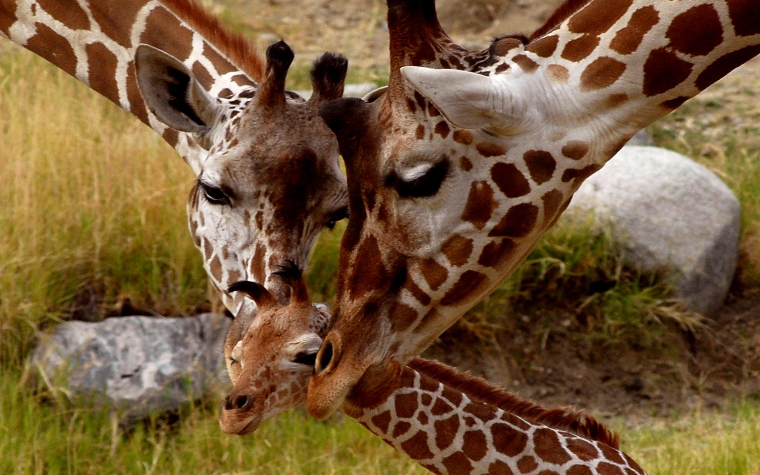 giraffe   Ecosia 2560x1600