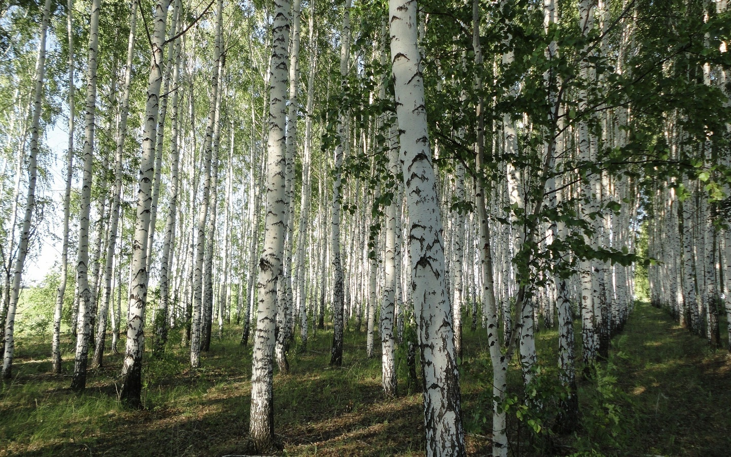 White Birch Tree Forest wallpaper   ForWallpapercom 1440x900