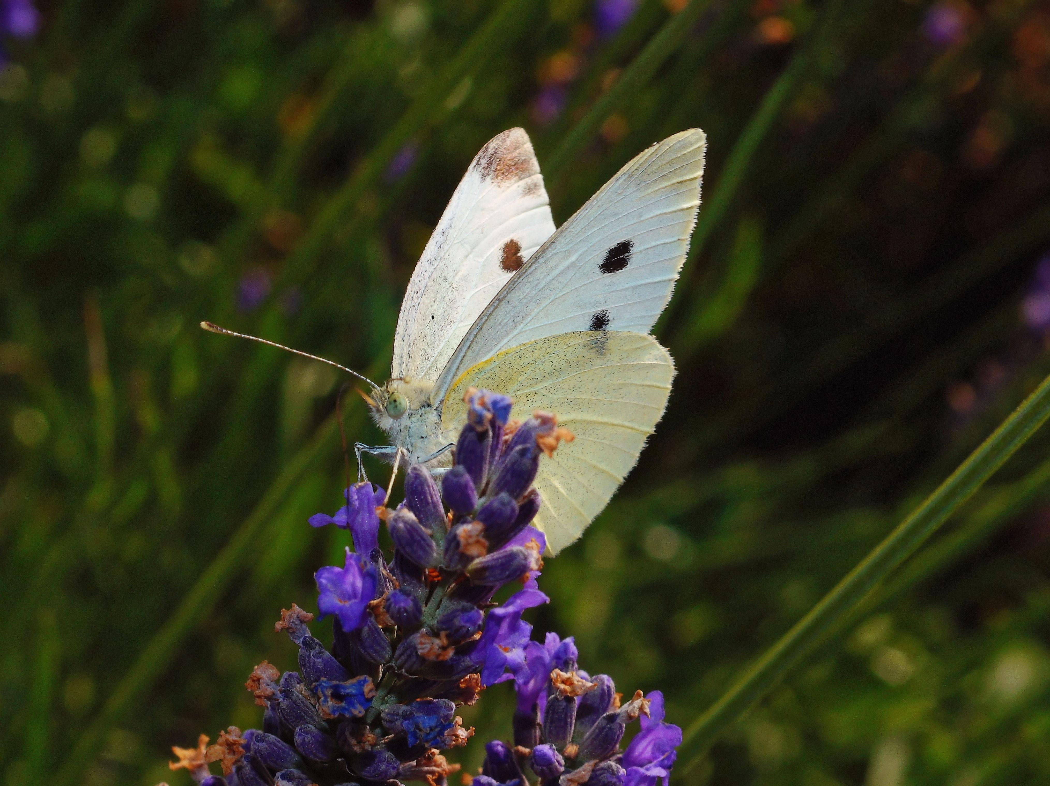 sulfur butterfly on purple flower image Peakpx 4058x3039