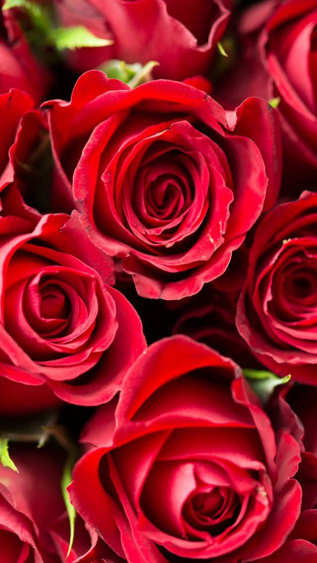 24+] Roses Flower 4K Wallpapers on