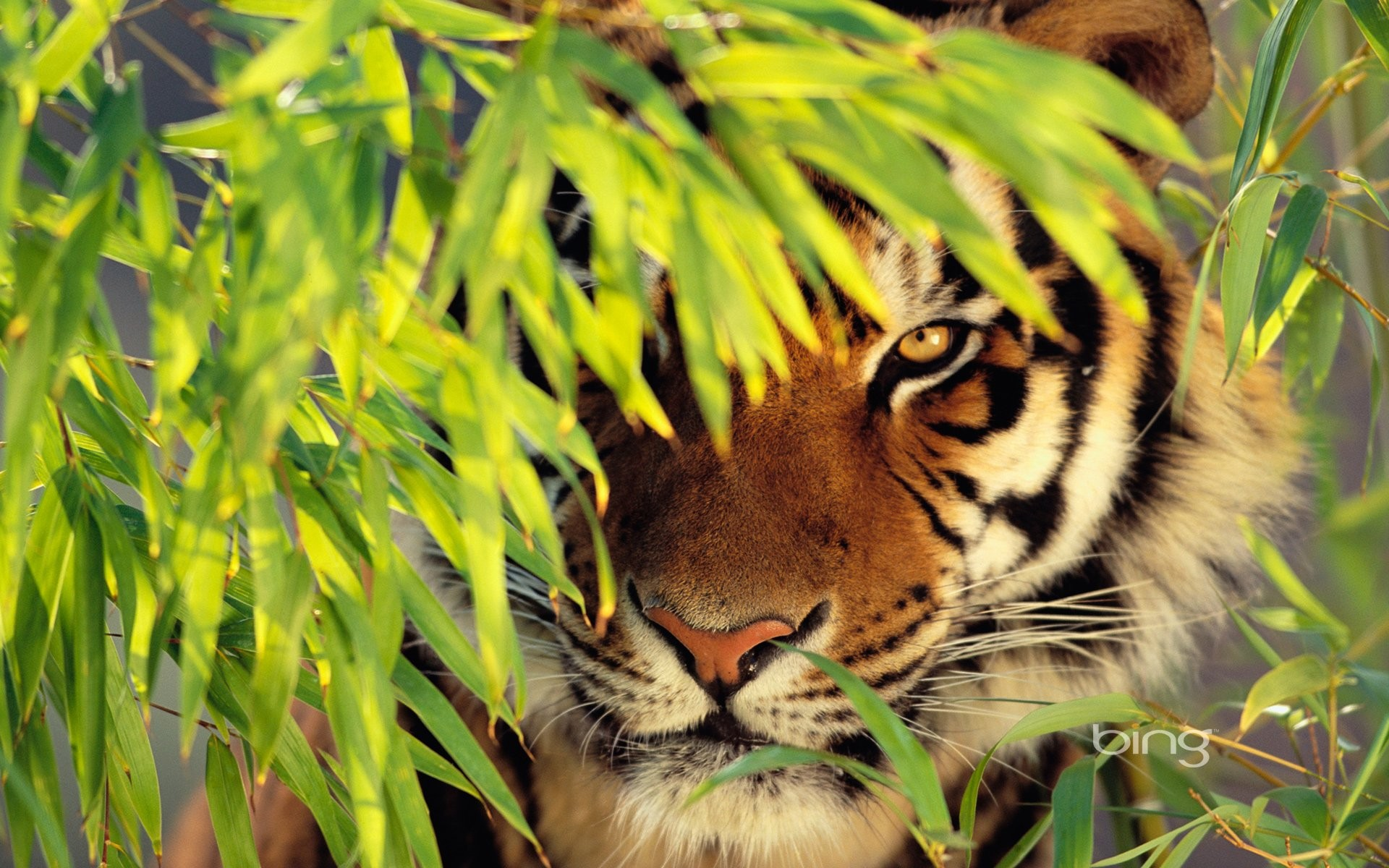 Animal Tiger Bing Background Download Desktop Wallpapers Amazing 1920x1200