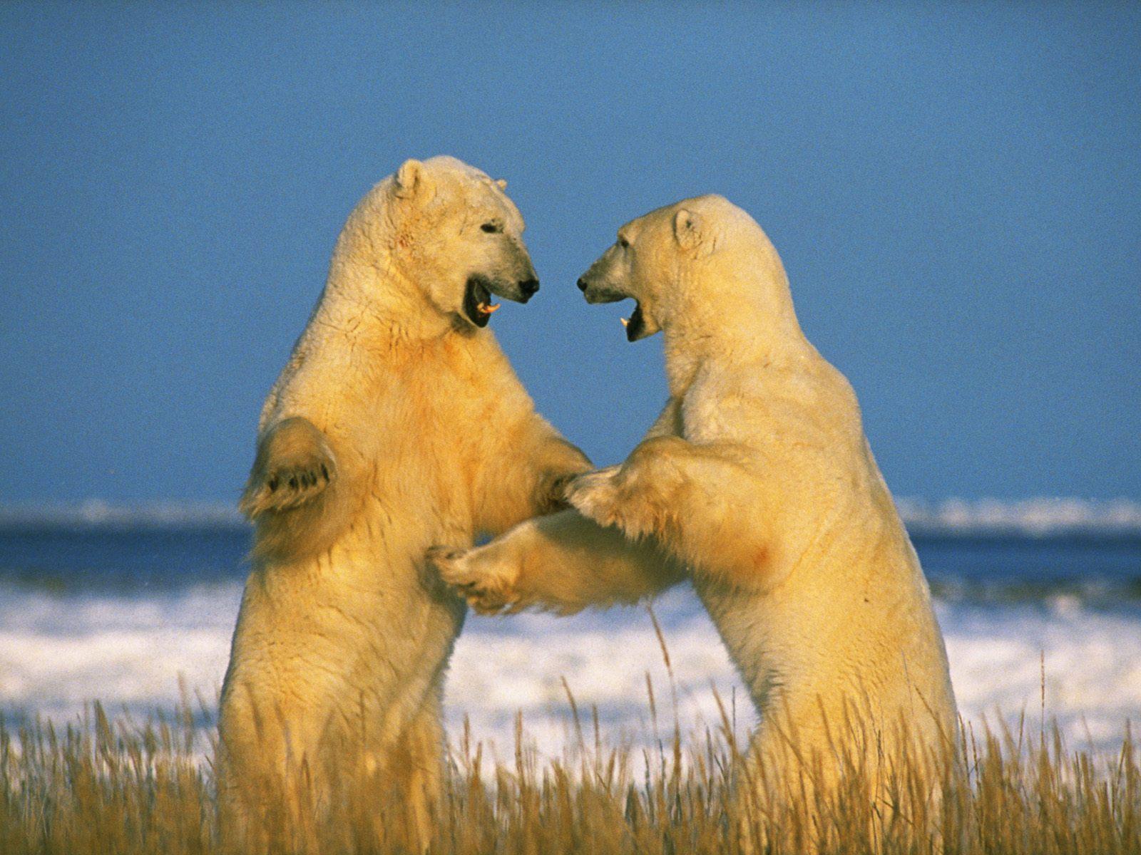Sparring Polar Bears wallpapers Sparring Polar Bears stock photos 1600x1200