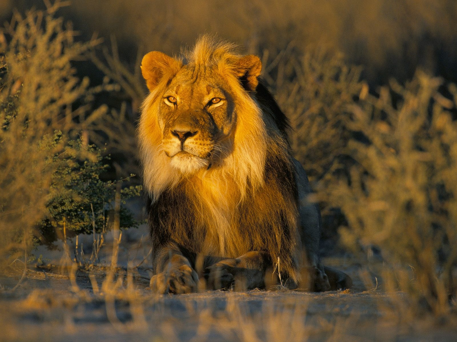 lions wallpapers lion photos animals hd lion photos wild lions picture 1600x1200