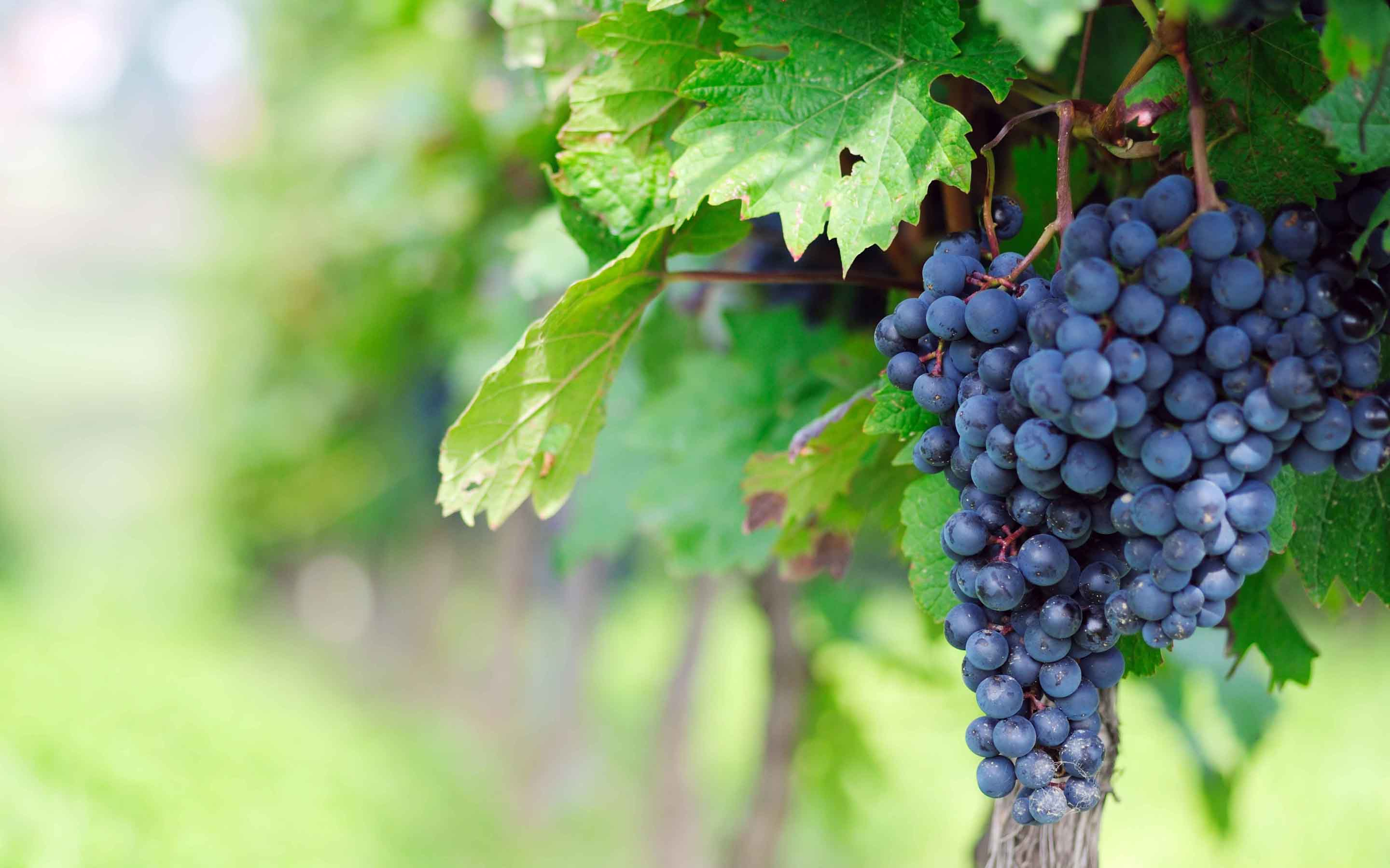 Grape Vine   wallpaper 2880x1800