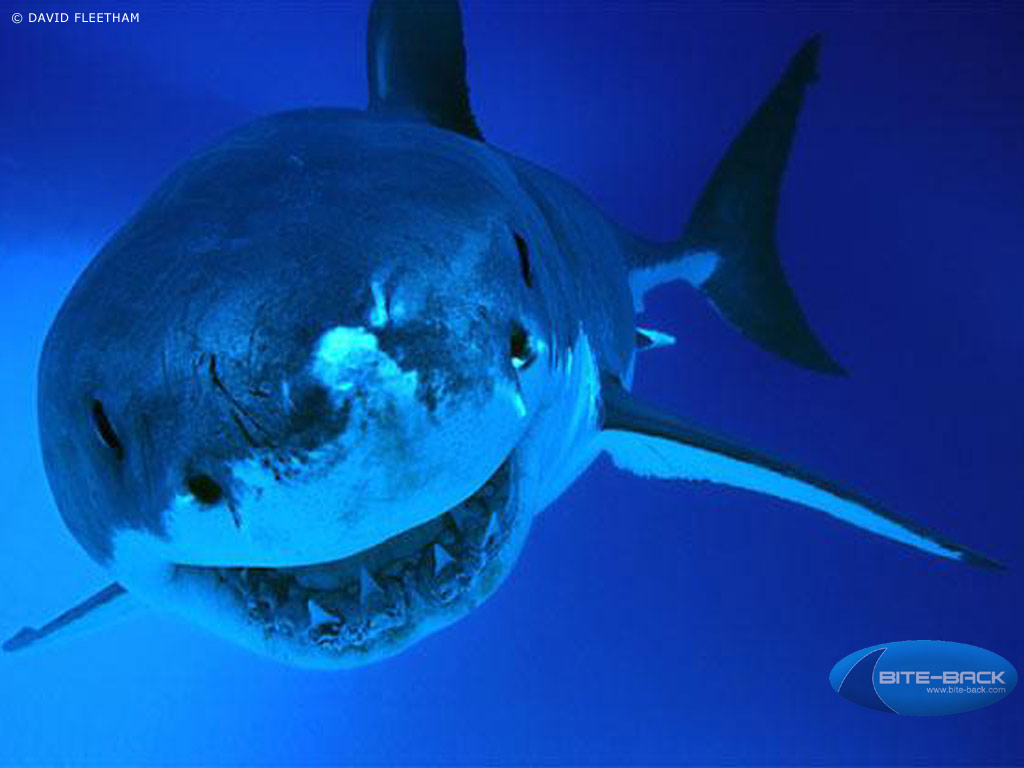 HD Animal Wallpapers Shark 2014 top wallpapers 1024x768