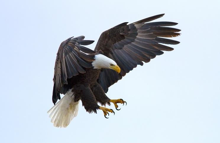 American Bald Eagle Habitat Globerove 744x484