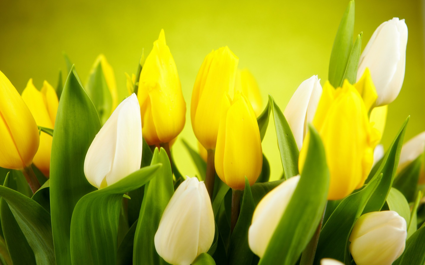 picture of tulips flower  flower border, Beautiful flower