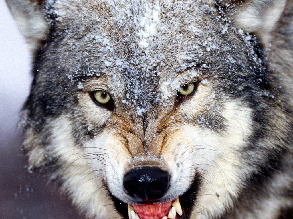 Gray Wolf Wallpapers FSX52 HDQ Cover Wallpapers For 1024x768