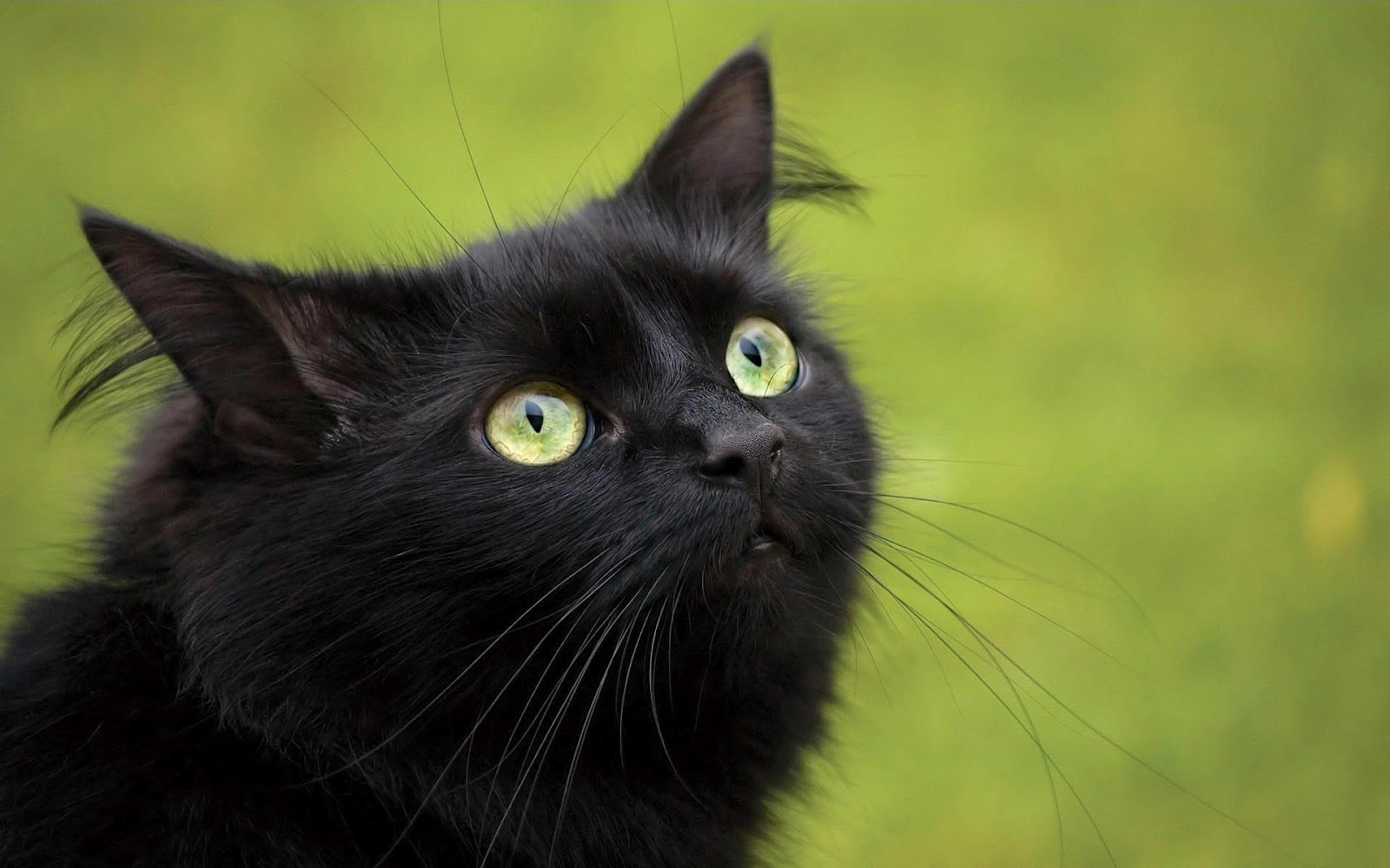 Black cat with green eyes wallpaper 1600x1000