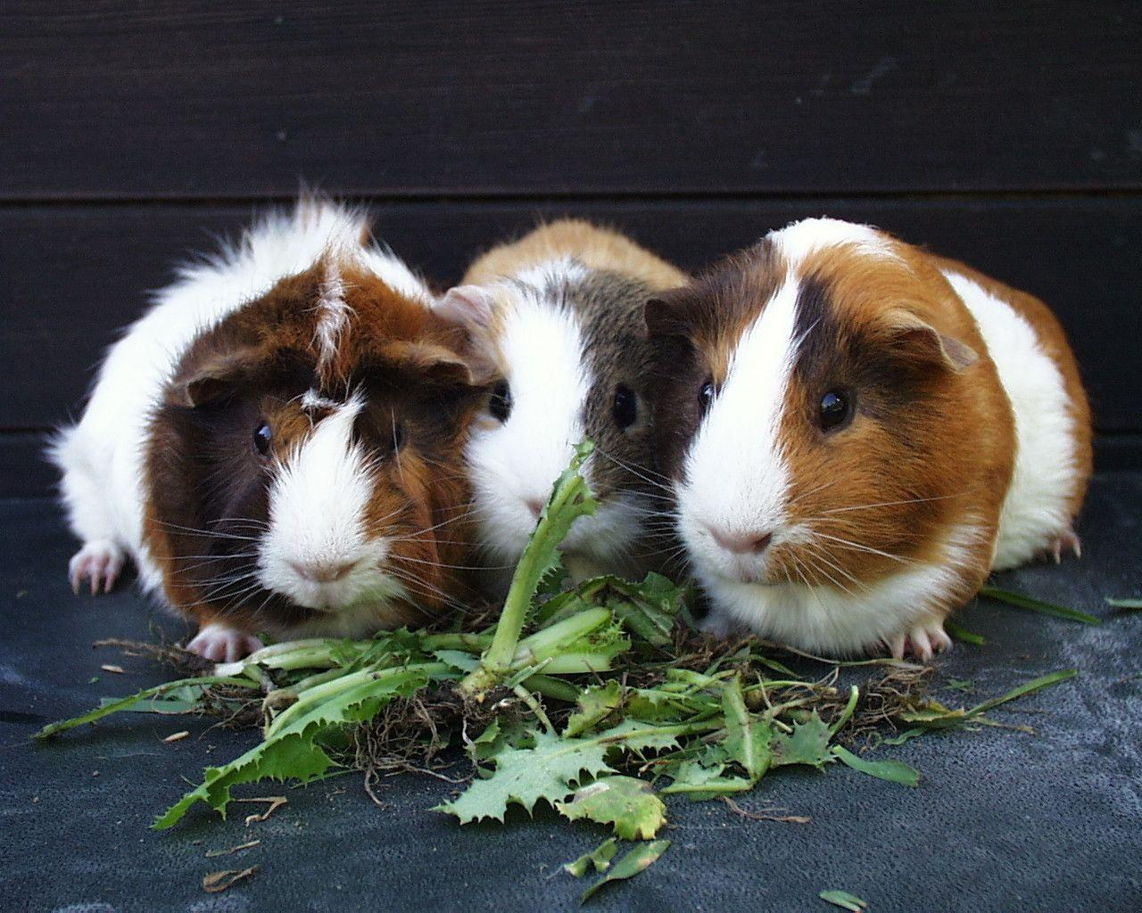 Guinea Pig Wallpapers 1280x1024
