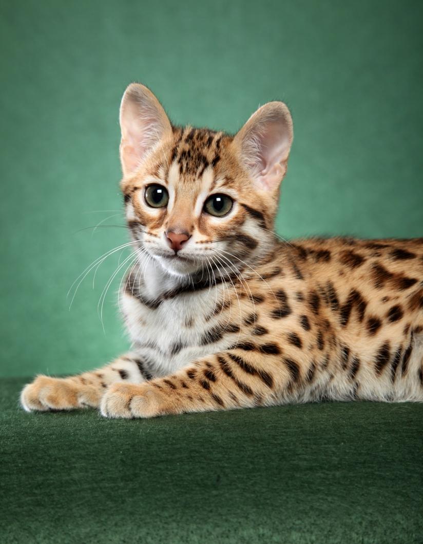 Картинки бенгальского котенка