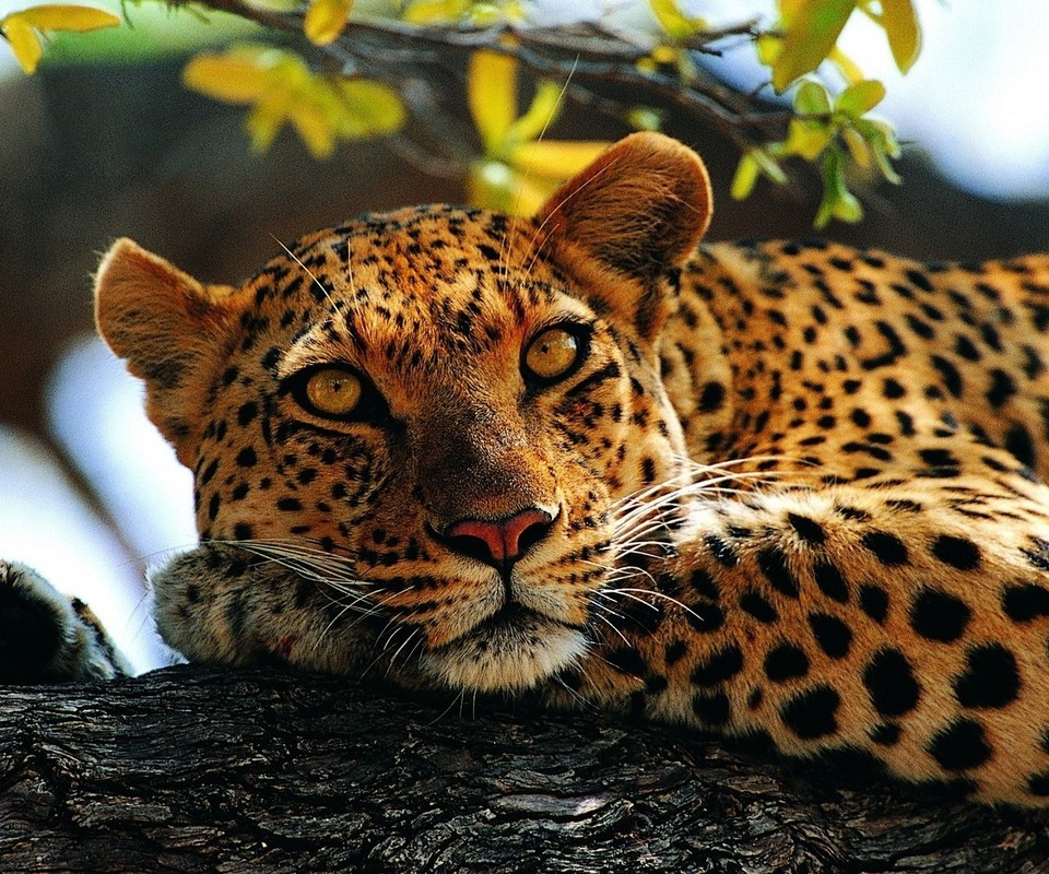 Calm leopard on a wood   Wild animal 960x800