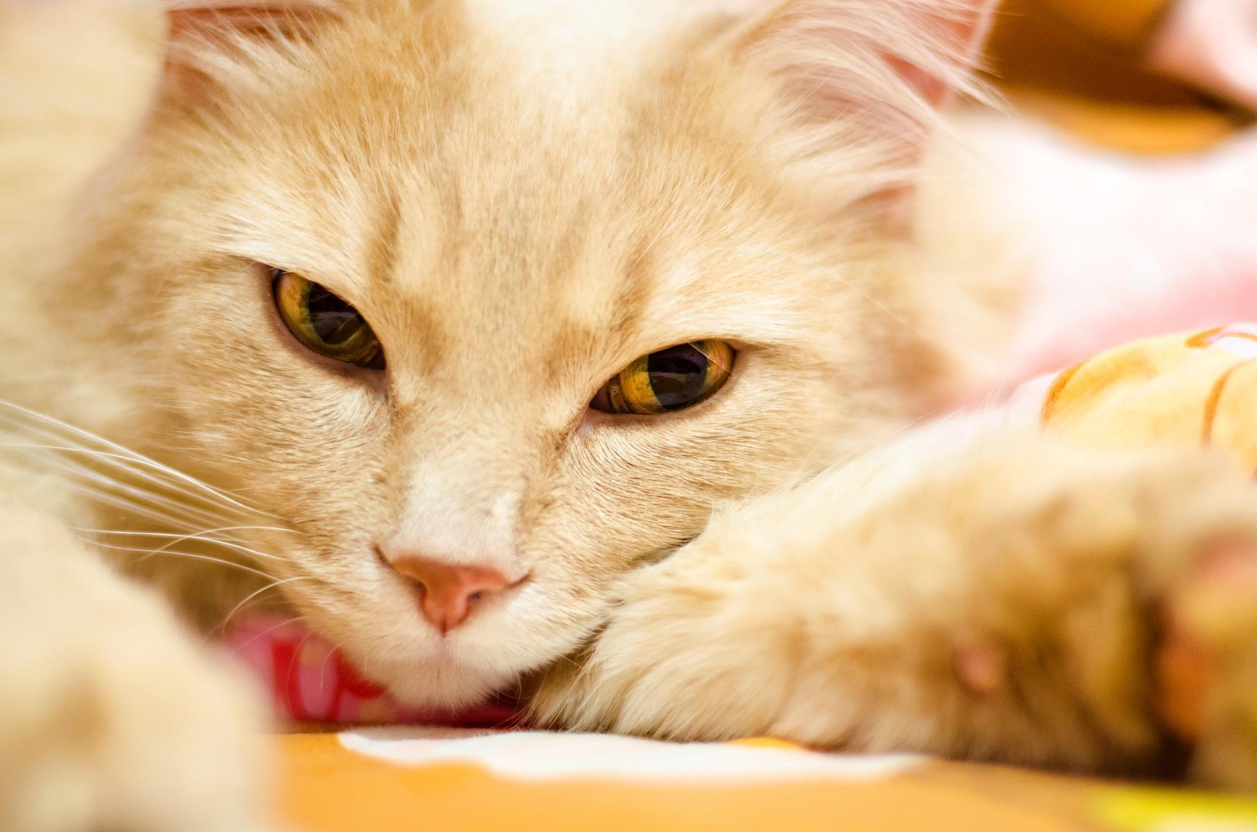 Beautiful Doll Fie Cat HD Wallpaper 1800x1192