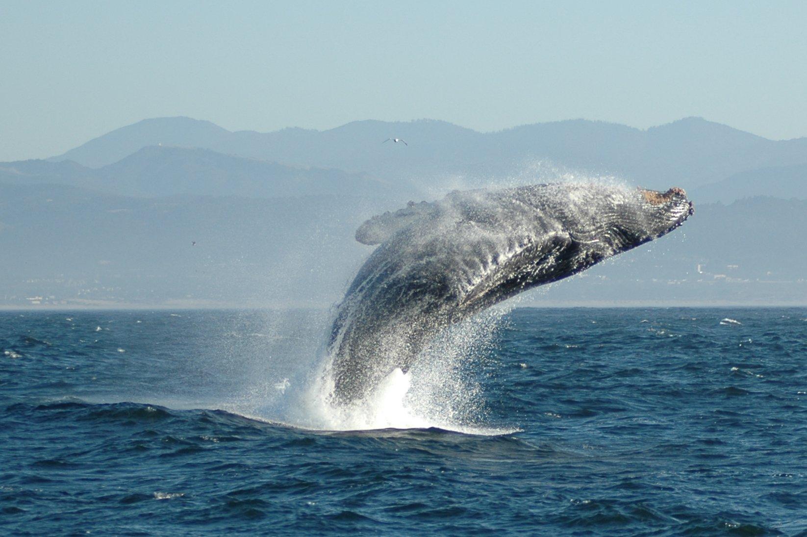 FileJumping Humpback whalejpg   Wikipedia the encyclopedia 1646x1095