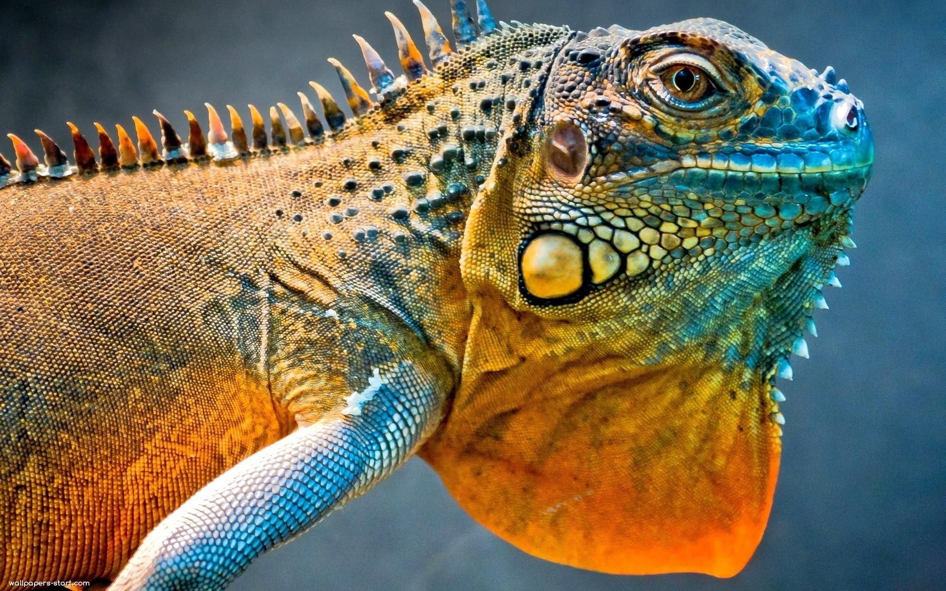 Amazing Amazing iguana wallpapers reptiles wallpaper images 1920x1200