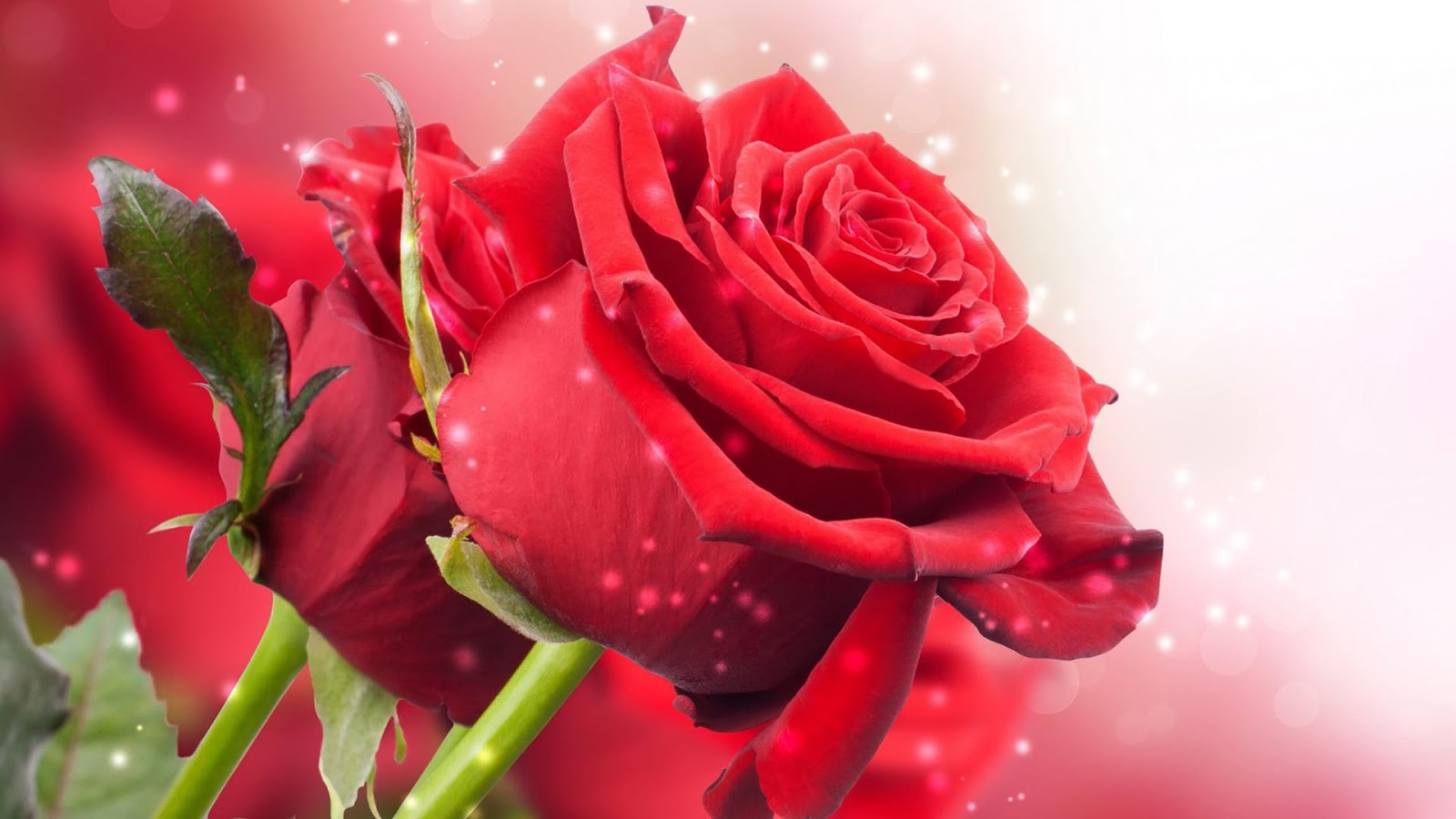 Red Rose Live Wallpaper   Android Apps on Google Play 1600x900