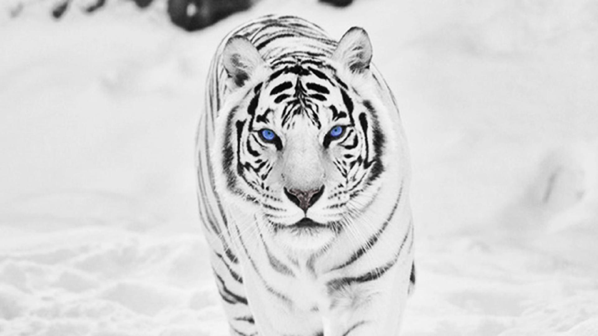 белый тигр на снегу  № 988851  скачать