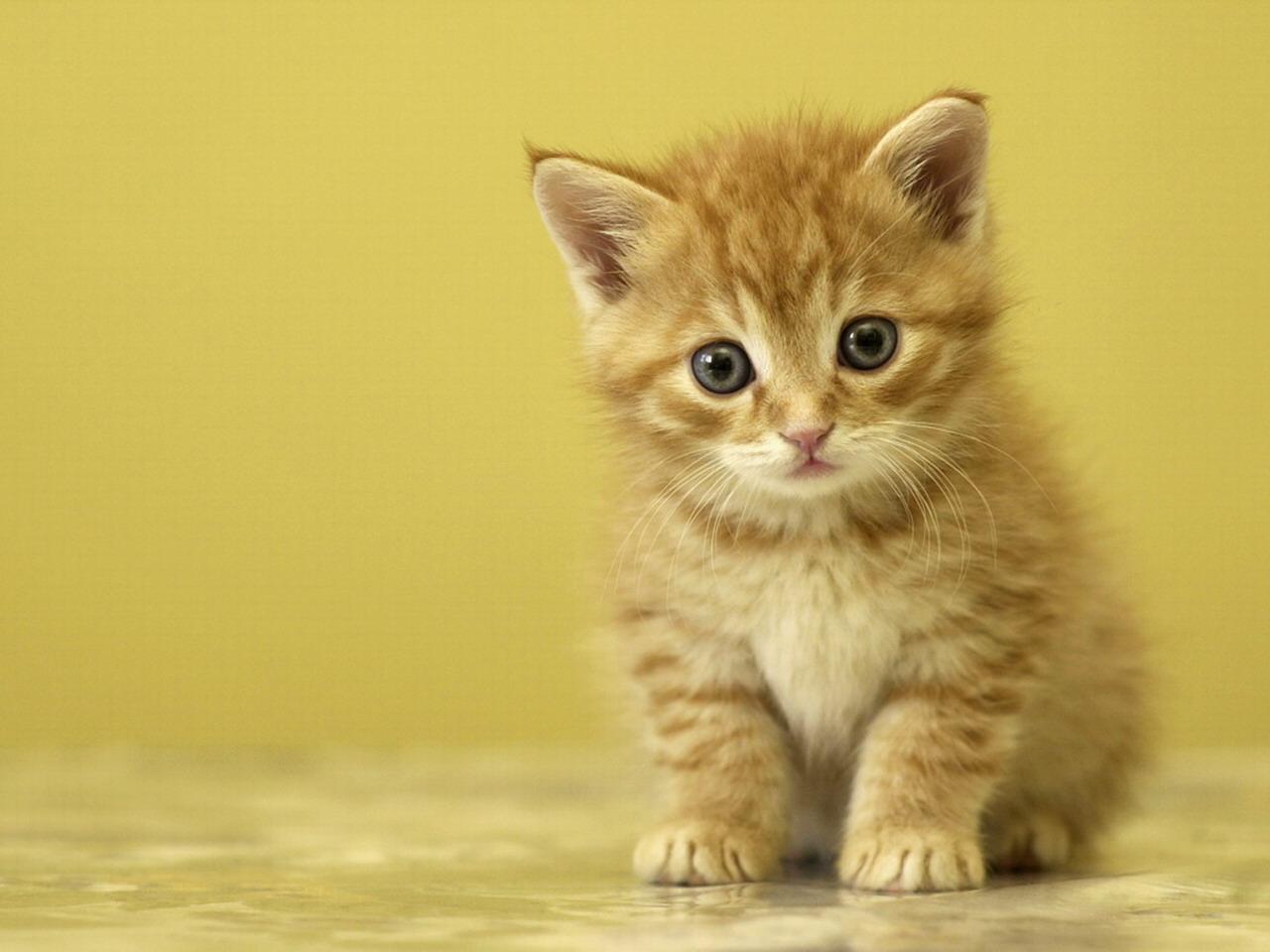 cute kittens wallpaper cute kittens wallpaper cute kittens wallpaper 1280x960