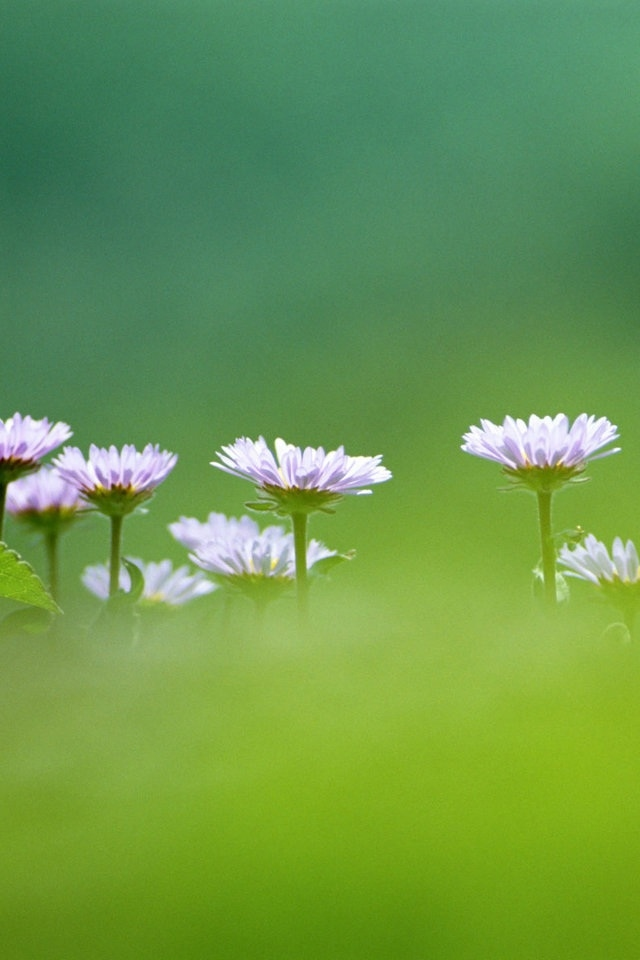 Cute Purple White Flower Iphone 4s Wallpapers 640x960 Hd Iphone 4 640x960