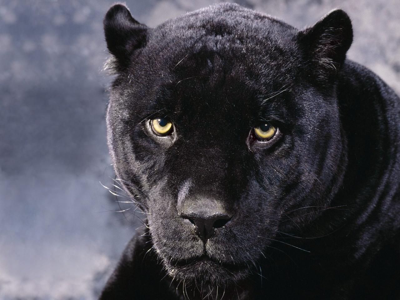 Pantera Negra Fondos de pantalla gratis 1280x960