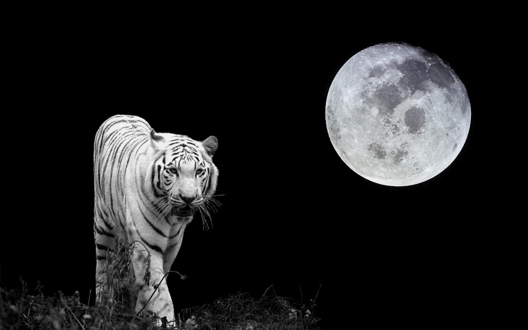 White Tiger Wallpaper Hd Wallpapers Download 1680x1050
